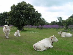Cows of the species Blanca Cacarena