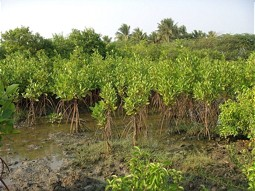 Mangrove reforestation in India