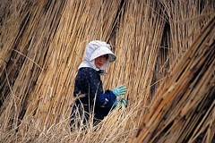 Reed crop at Lake Biwa