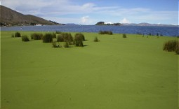 Duckweed covers the lake surface in Puno Bay.