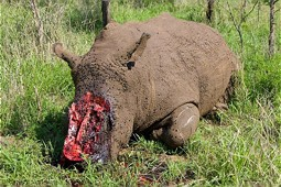 A rhino, killed by illegal poaching.