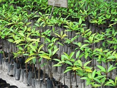 Mangrove seedlings in a tree nursery, Sri Lanka