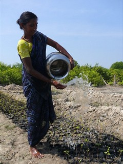 Irrigation of mangrove seedlings in India