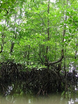 Mangrove forest in Asia