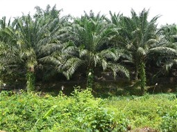 Plantation of oil palms on Borneo