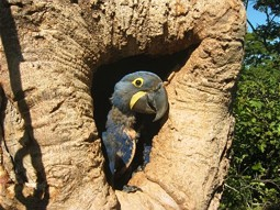 Hyazinth Macaw in its nesting hole