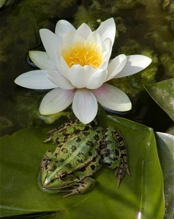 Water Lily and Frog at Nestos Lakes and Lagoons, Greece
