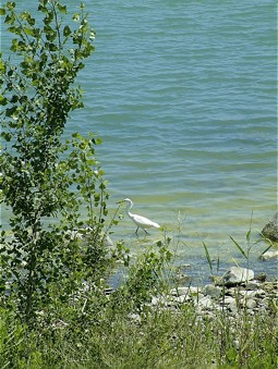 Egret at the shoreline