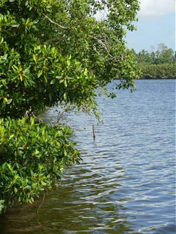 Mangroves at the shoreline