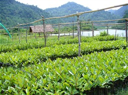 Mangrove plants in a nursery