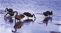Black Swans on the inlet foreshore (Photo: Geoff Rogerson)