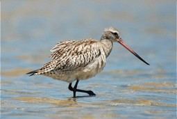 Bar-taled Godwit