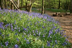 Bluebell wood (Photo: Di Jackson)