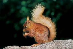 Eurasian Red Squirrel (Photo: Val Corbett)
