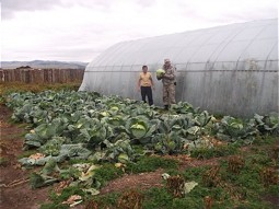 Open land cultivation of cabbages