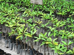 Mangrove seedlings in a tree nursery
