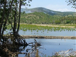 Project area with mangrove seedlings