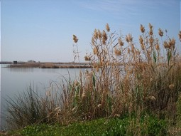 Reed Areas in the La Albufera Nature Park