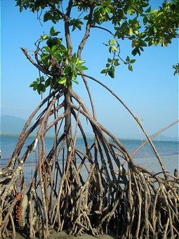 Mangrove plant with air rootsn
