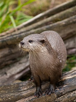 Otter