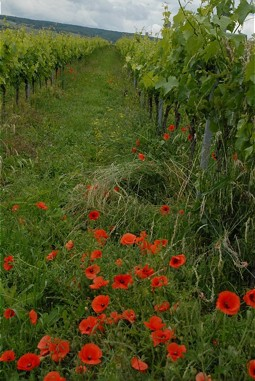 Biodiversity on the verge of and in the vineyard