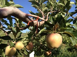 The cultivation of apples is the most important agricultural production.