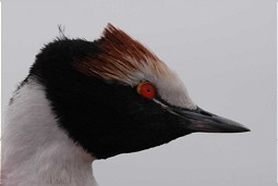 Hooded Grebe