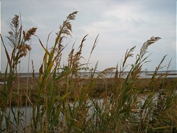 Reed Areas in the lagoons