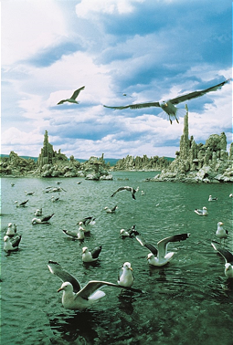 Mono Lake with impressive gulls