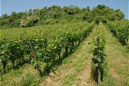 A natural vineyard with fences and trees.