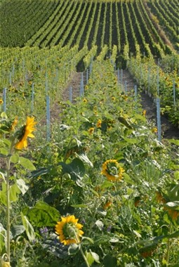 Sunflowers in the middle of vineyards.
