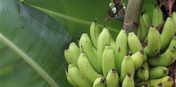 Biodiversity in Banana and Pineapple Production in Costa Rica and the Dominican Republic